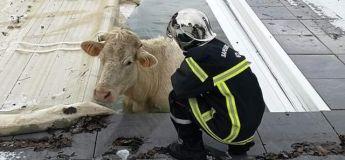 Loire : une vache finit sa course dans une piscine privée