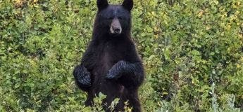 Un enfant de 3 ans perdu dans la forêt recueilli par un ours