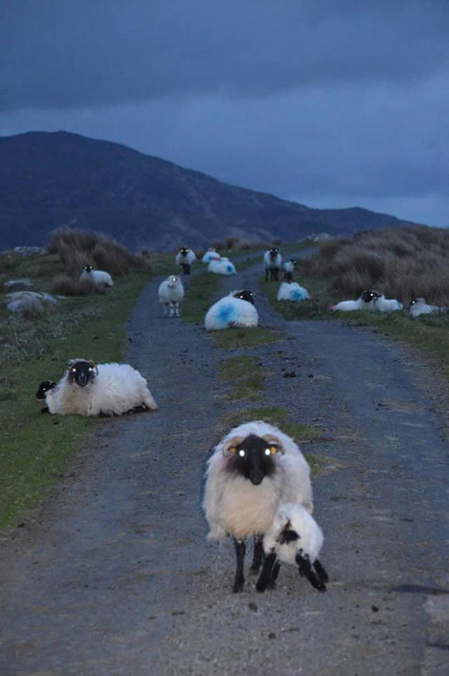 Punaise, les moutons sont flippants durant la nuit !