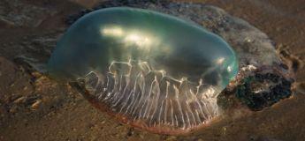 Des méduses envahissent les plages et piquent plus de 3 500 personnes