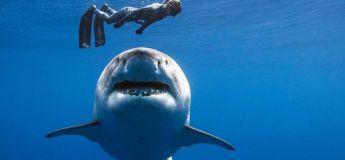 Hawaï : Des plongeurs ont pu nager pendant plusieurs heures avec un gigantesque requin blanc