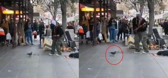 Vous n'allez pas le croire mais ce pigeon danse au rythme d'une chanson jouée dans la rue