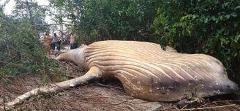 Le mystère d'une baleine échouée au milieu de la jungle amazonienne intrigue