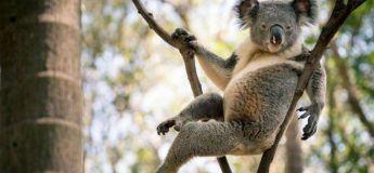 Ce koala dans une pose provocante enflamme le Web