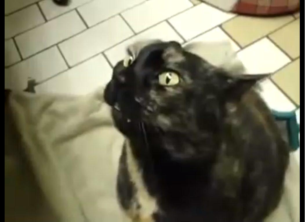 A force d'aimer les caresses de son propriétaire, cet adorable chat miaule bizarrement