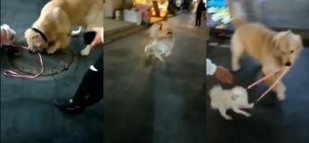 Vous n'allez pas le croire mais ce golden retriever essaye sérieusement de voler un autre petit chien de son propriétaire