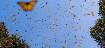 Une vidéo fascinante des centaines des papillons monarques envahissant un champ au Mexique