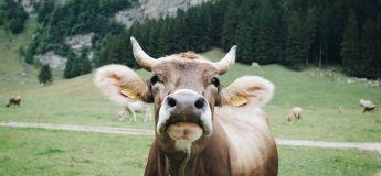 «Tudder», la version de Tinder pour les vaches