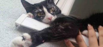 Une femme a recueilli un chaton ayant le vitiligo, maintenant la couleur noire de son pelage a mué en blanc