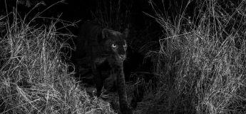 Au bout de 100 ans, un photographe capture des images inédites d'un léopard noir
