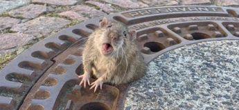 Il a fallu neuf personnes pour sauver un gros rat coincé dans une plaque d'égout
