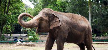 INDE : un éléphant écrase son soigneur en lui tombant dessus par accident