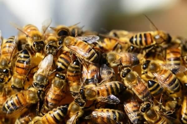 Un cambrioleur a été mis en fuite par 80 000 abeilles furieuses