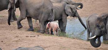 Un bébé éléphant, de couleur de peau rose, filmé par un chasseur