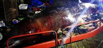 Une baleine meurt avec 40 kg de plastiques dans l'estomac et échoue sur l'île de Bohol