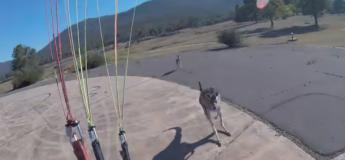 Un kangourou attaque un parapentiste lors de l'atterrissage