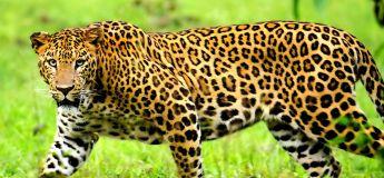 Deux léopards sont repêchés dans un puits après un combat acharné
