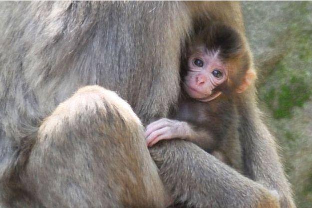 Une chienne considère un bébé singe comme son propre enfant après l'avoir sauvé