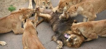 Le règne de la majorité féminine dans une troupe de lions