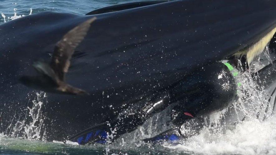 Un plongeur avalé par une baleine pendant plusieurs secondes avant d'être recraché vivant