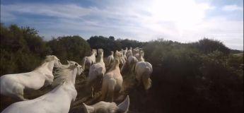 Admirez la majesté de ce groupe de chevaux sauvages blancs courant ensemble