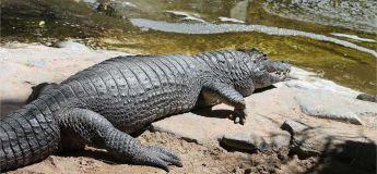 Un alligator frappe à la porte d'une résidence en Floride