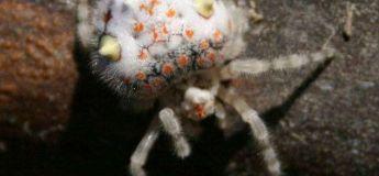 Découverte : une araignée ressemblant à un sushi, faites attention si vous avez faim !