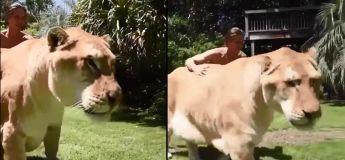 Quand on hybride un lion et un tigre, ça donne ça (en vidéo)