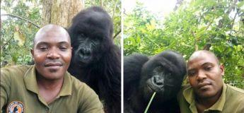 Des selfies d'un ranger anti-braconnage avec des gorilles au Congo