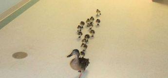 Étrange, ces canards retournent dans le même hôpital chaque année