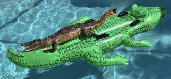 Un alligator prend un bain de soleil sur un flotteur en forme d'alligator