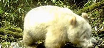 En Chine, une caméra filme pour la première fois un panda géant albinos