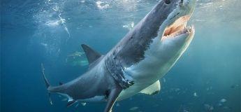 Un requin blanc filmée depuis son dos en train de chasser