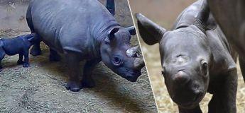 Un rhinocéros noir, menacé d'extinction, a accouché après 15 mois de grossesse
