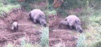 Cette vidéo d'un bébé rhinocéros essayant en tout moyen de réveiller sa mère tuée va vous briser le cœur