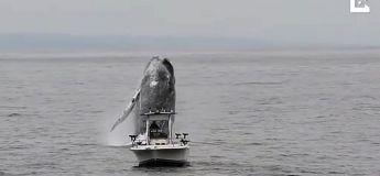 Une énorme baleine à bosse saute hors de la mer juste à côté d'un bateau de pêche