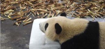 Les pandas jouent avec des glaçons géants pour lutter contre la chaleur