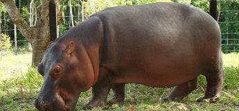 Afrique du Sud : une invasion d'hippopotames a interrompu un match de rugby