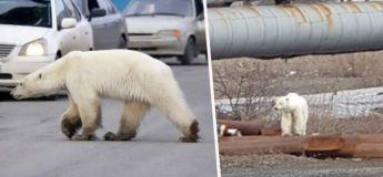 Un ours polaire s'est perdu dans la ville sibérienne