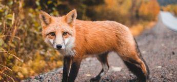 Un vol Toulouse-Orly fait demi-tour en raison d'un renard happé par le réacteur