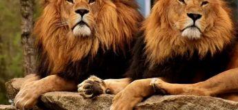 La vidéo d'un exercice de sécurité d'un zoo où un homme se déguise en lion a fait le buzz sur Internet