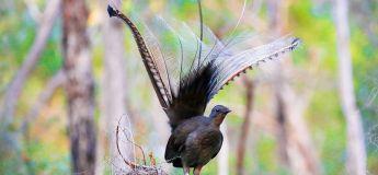Lyrebird, le meilleur oiseau chanteur au monde