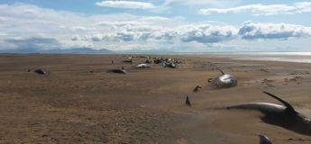 Des dizaines de baleines mortes découvertes sur la plage en Islande