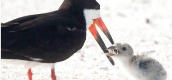 Un oiseau écumoire noir nourrit son poussin d'un mégot de cigarette