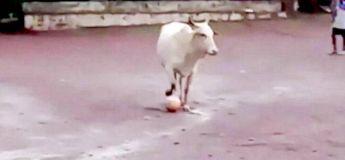 « Même Messi ne le pourrait pas » : Une vache impressionne Internet pour ses talents au football