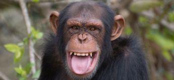 Vidéo : Un chimpanzé s'échappe de son enclos et envoie un gardien au tapis d'un coup de pied