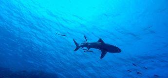 Un papa photographie une scène glaçante montrant un requin s'avancer tout droit vers ses enfants