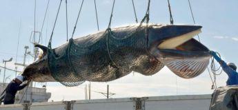Le Japon va reprendre la chasse commerciale à la baleine aujourd'hui