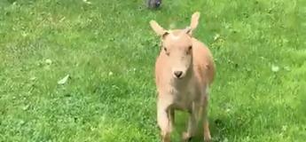 Des chatons font peur à une chèvre !