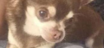 Une mouette enlève en plein vol un petit chihuahua